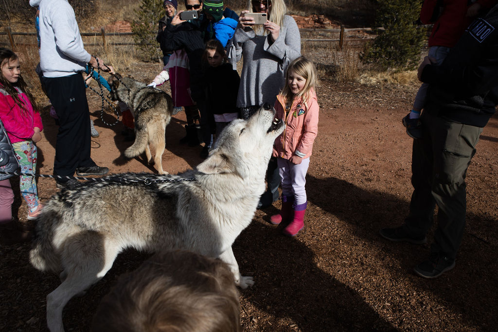 learning about wolves in Colorado Springs Real Red Riding Hoods forest school